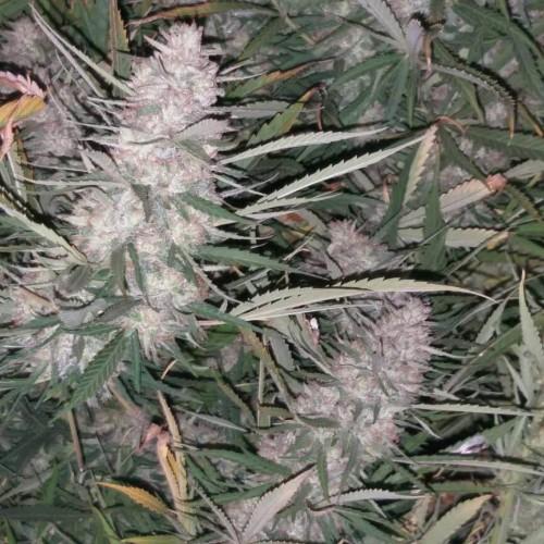 Купить стакан травы LSD